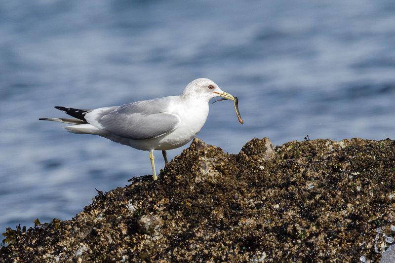 California (or hybrid) Gull with Gunnel