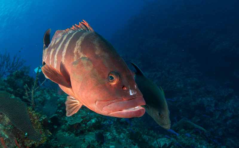 Grouper and Trevally