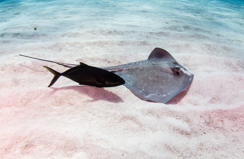 Sting Ray and Bar Jack