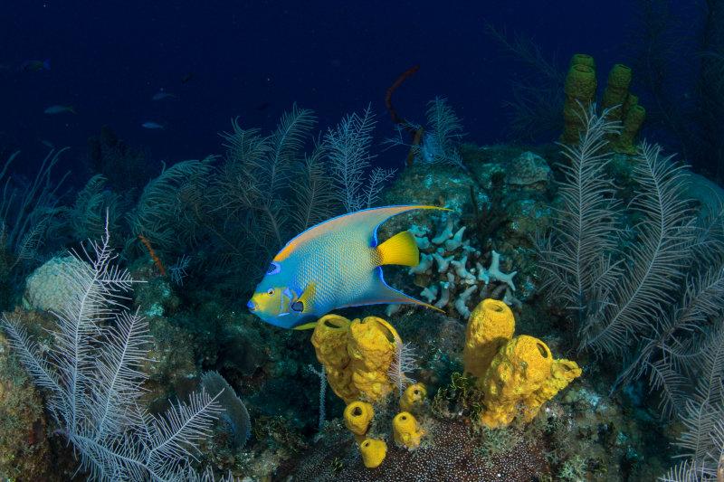 Queen Angelfish and Sponges
