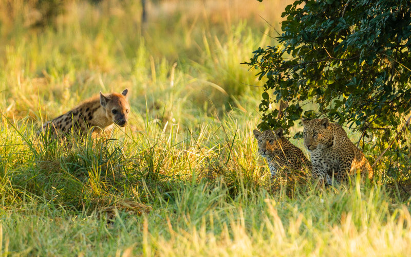 Leopards and Hyena, Peaceful Coexistence