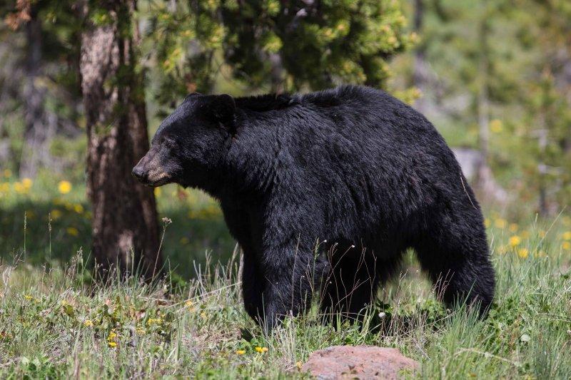 Black Bear Boar