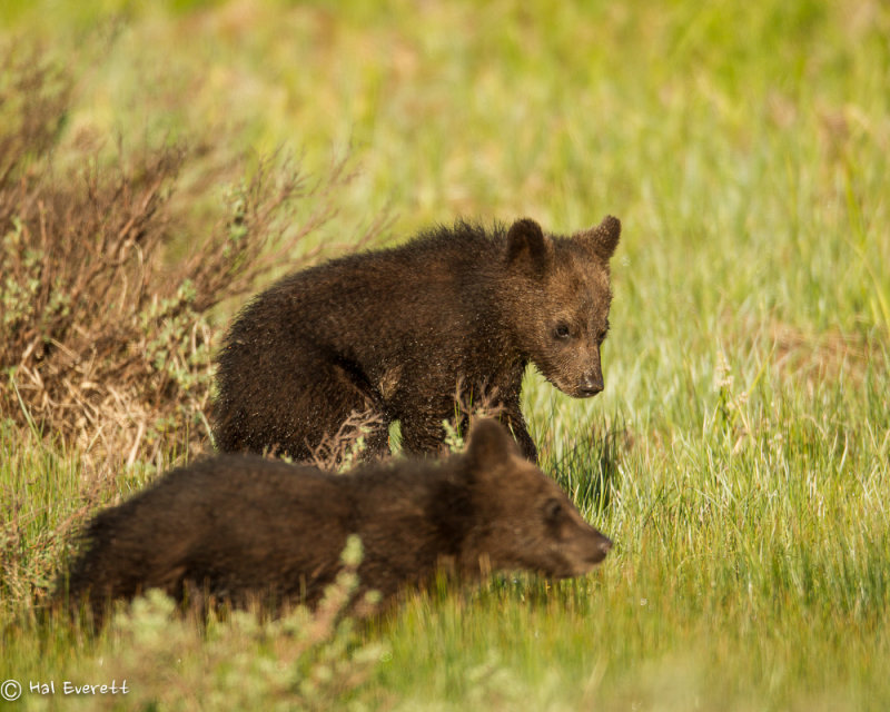 Grizzly Cubs of the Year