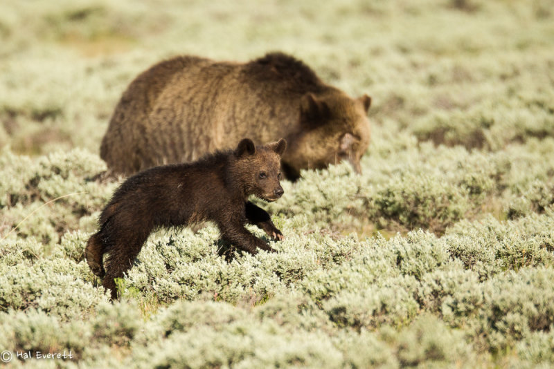 Leaping Grizzly Cub