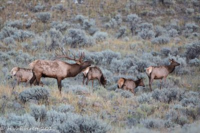 Bugling Bull Elk and Harem
