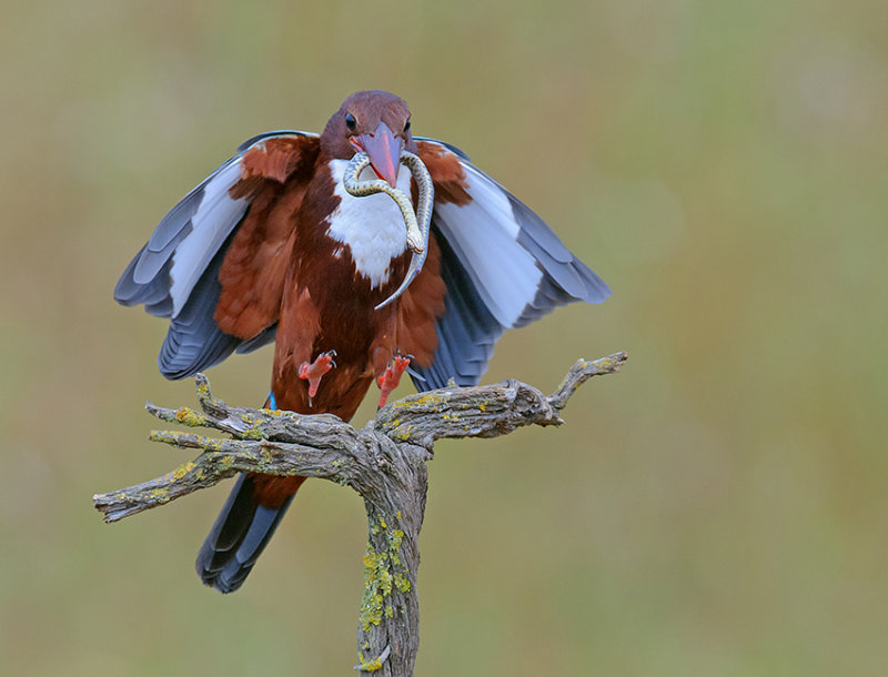 White-throated Kingfisher.