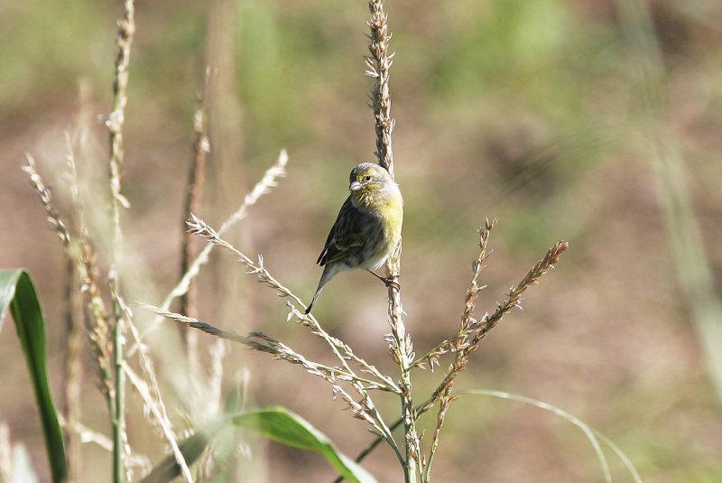 Kanariefågel<br/>Island Canary<br/>Serinus canaria