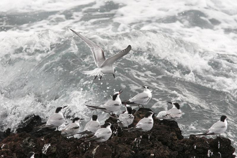 Kentsk tärna<br/>Sandwich Tern<br/>Thalasseus sandvicensis