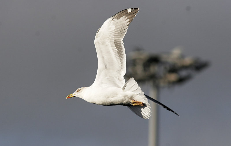 Medelhavstrut (Atlantis)<br/>Yellow-legged Gull (Atlantic)<br/>(Larus michahellis atlantis)