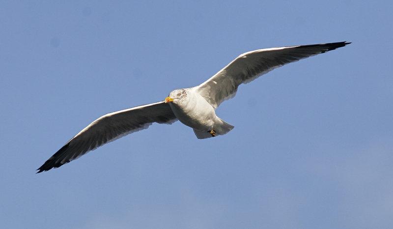 Medelhavstrut (Atlantis)<br/>Yellow-legged Gull (Atlantic)<br/>(Larus michahellis atlantis)