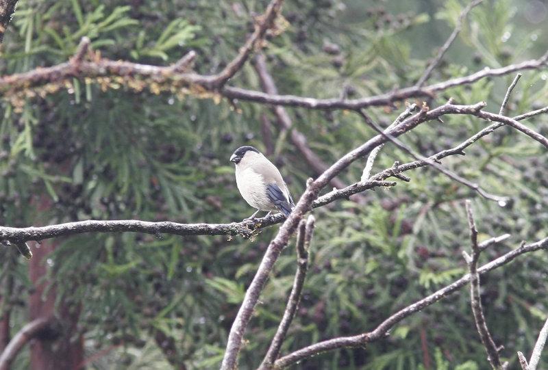 Azorisk domherre<br/>Azores Bullfinch<br/>Pyrrhula murina