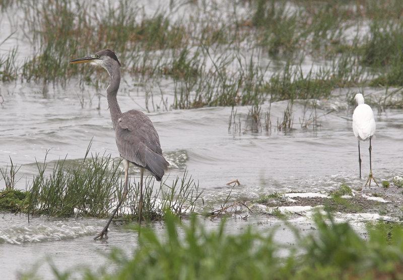Gråhäger<br/>Grey Heron<br/> Ardea cinerea