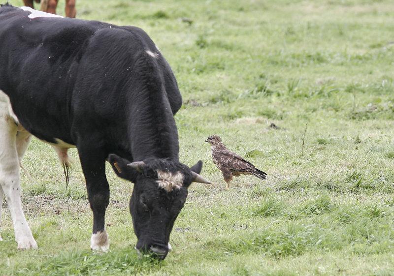 Ormvråk (Azores)<br/>Common Buzzard (Azores)<br/>Buteo buteo rothschildi