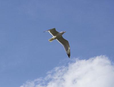Medelhavstrut<br/>Yellow-legged Gull<br/>(Larus michahellis)