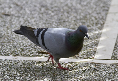 Tamduva<br/>Rock Pigeon<br/>Columba livia