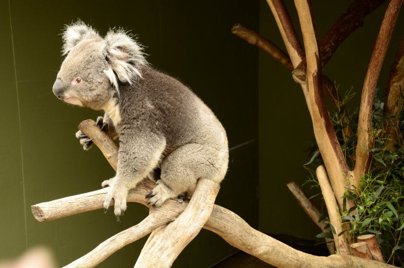 Jan.  Koala in Tasmania.jpg