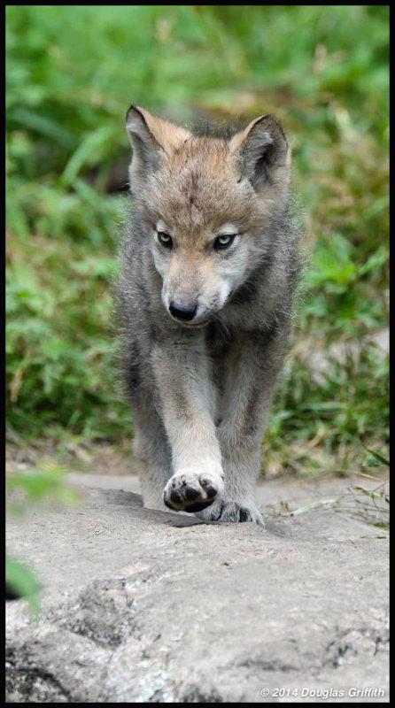 Timber Wolf Cub: SERIES