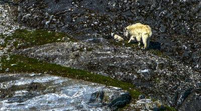 Mountain goats, Gloomy Knob, Glacier Bay National Park, Alaska, 2013