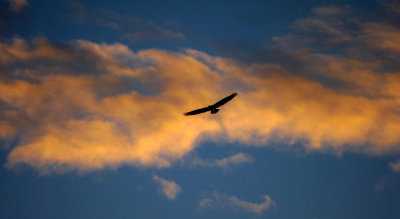 Bald eagle, near Juneau, Alaska, 2013