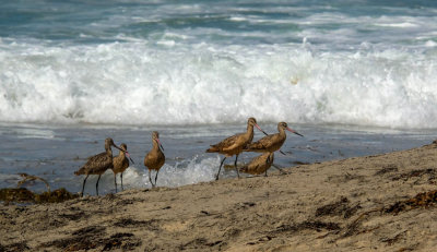 Marbled Godwits, Imperial Beach, California, 2014