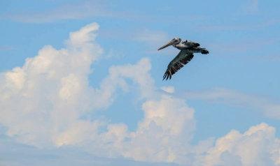 Pelican on the hunt, Imperial Beach, California, 2014