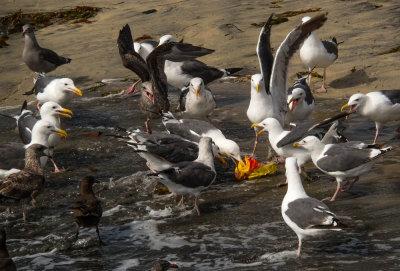 Gull riot, Imperial Beach, California, 2014