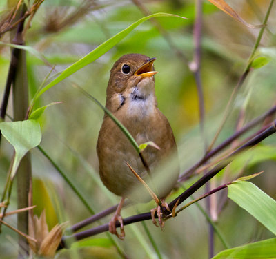 Brown Bush-Warbler
