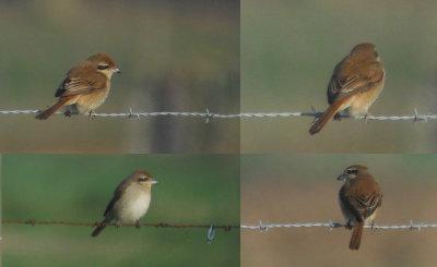 Bruine Klauwier / Brown Shrike / Lanius cristatus