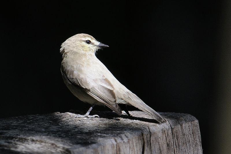 Unknown bird from Cristallino lodge