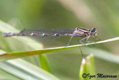 Enallagma cyathigerum - Common Bluet