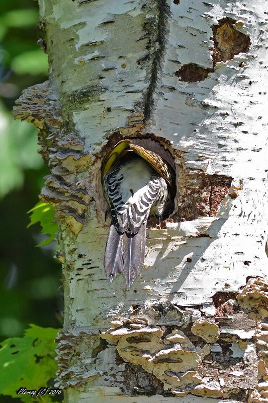 Série pic flamboyant mâle travaillant à l'élaboration de son nid. Large