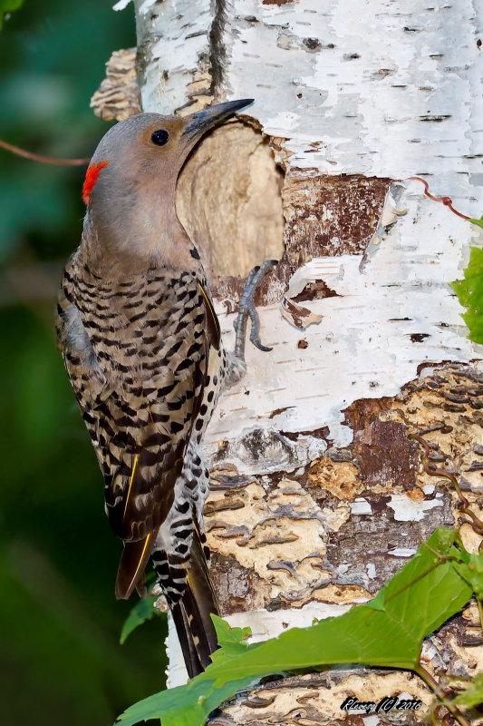 Série pic flamboyant au nid prise 1 Large