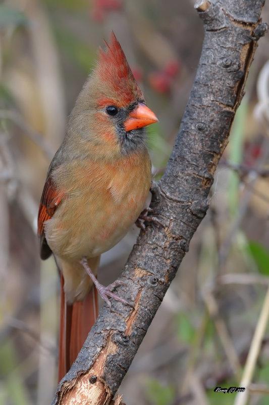 "Cardinal ""roux"" immature Large"