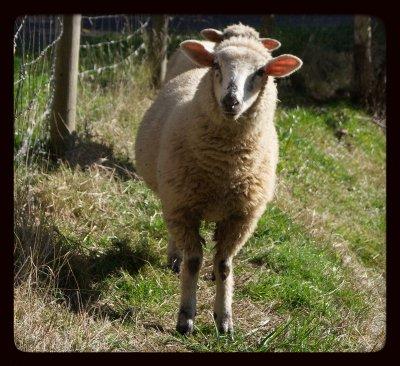 SHEEP.  1 or 2 ?