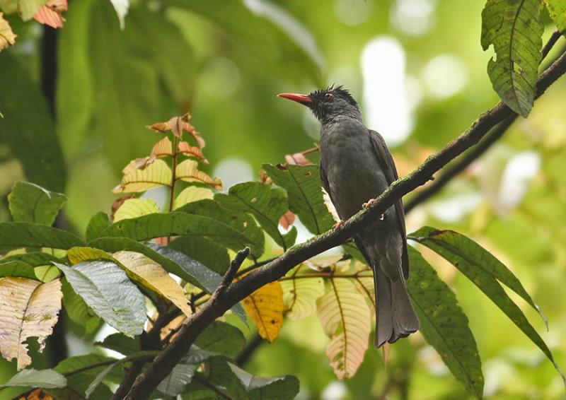 Square-tailed Black Bulbul