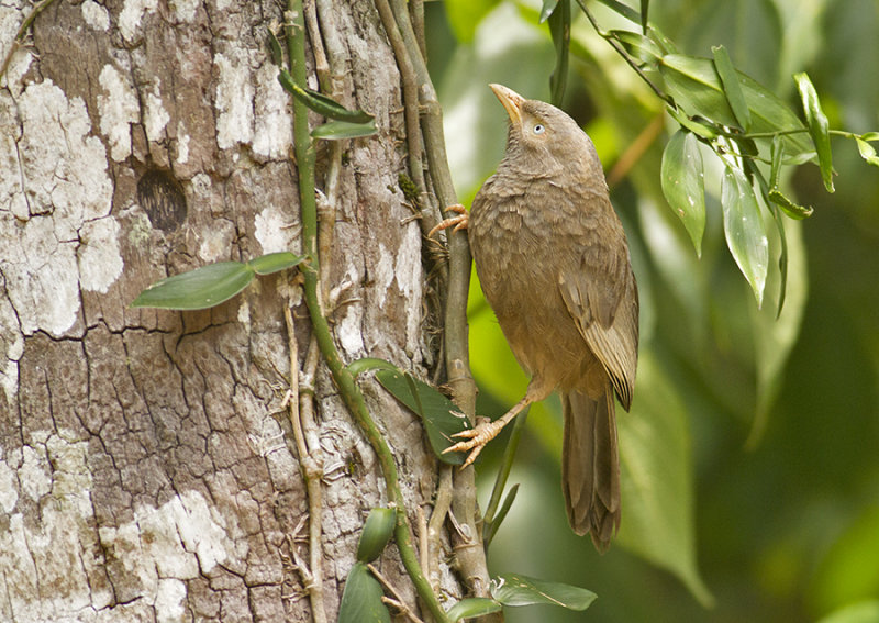 Yellow-bibbed Babbler