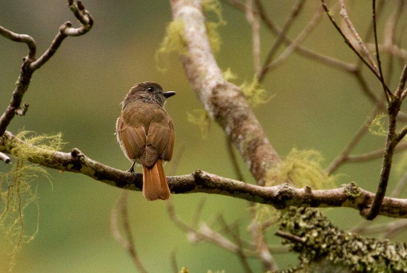 Flores Jungle Flycatcher (Russet-backed)