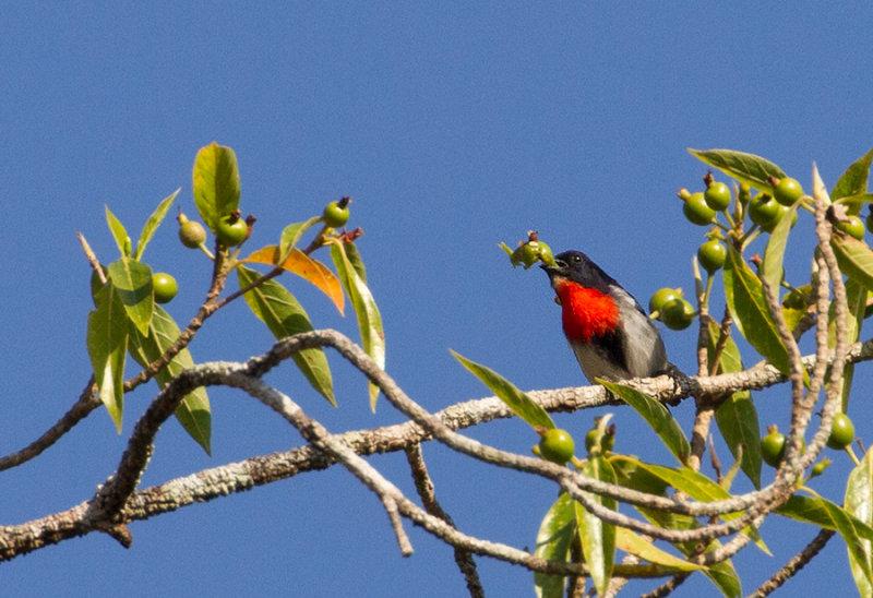 Sumba Flowerpecker (Blood-breasted)