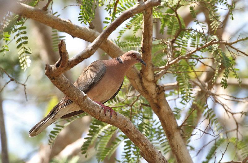 Island Collared Dove