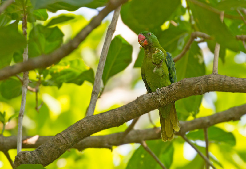 Blue-backed Parrot