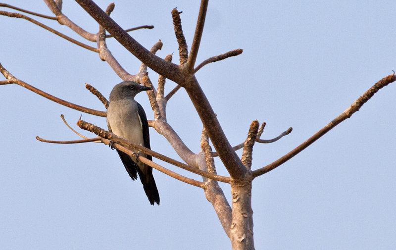 White-rumped Cuckooshrike
