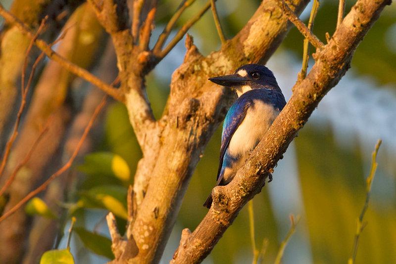 Blue-white Kingfisher