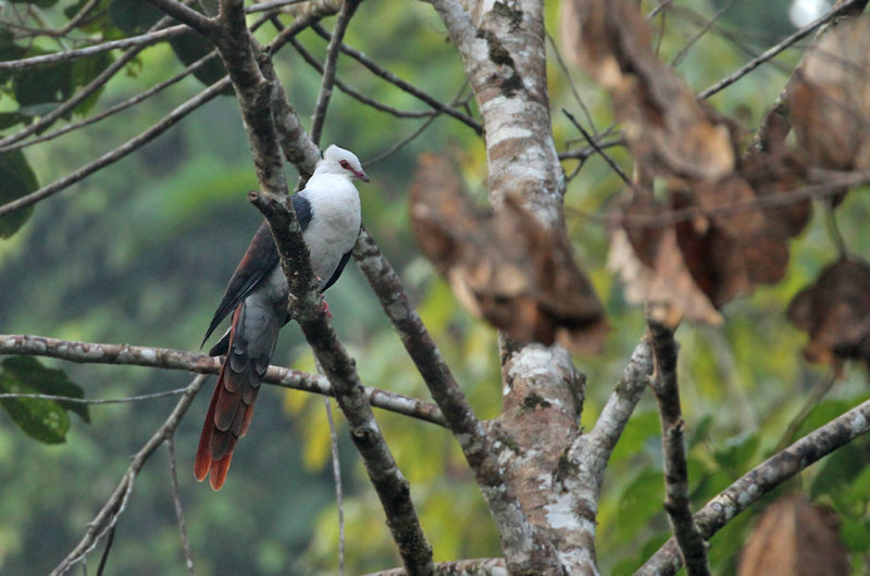 Great Cuckoo Dove