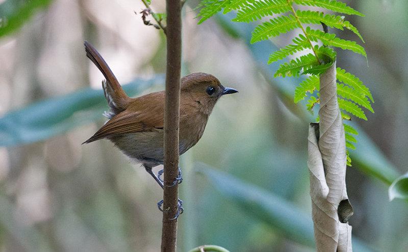 Sunda Robin, female