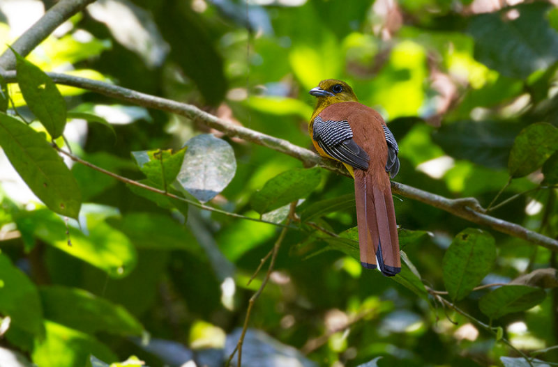 Orange-breasted Trogon