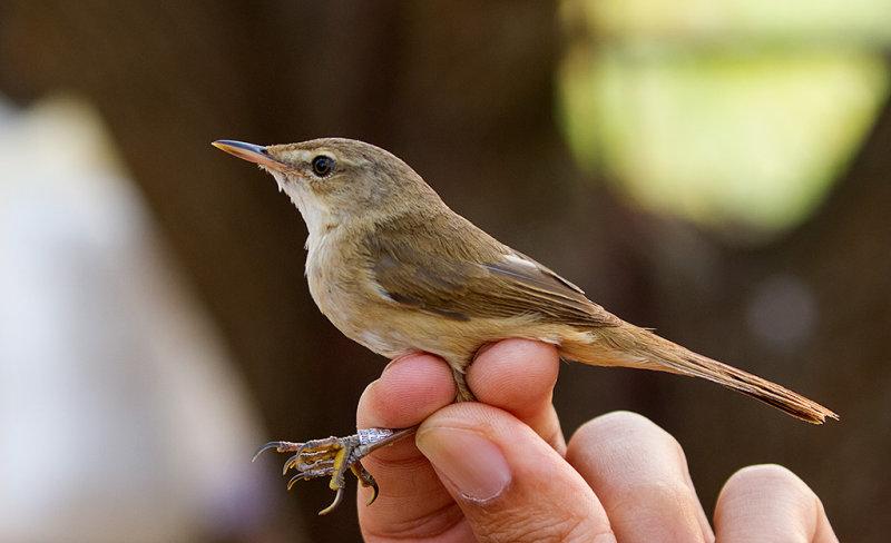 Blunt-winged Warbler