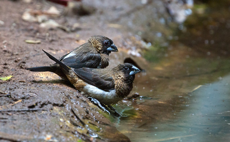White-rumped Munia