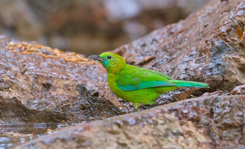 Blue-winged Leafbird, fem