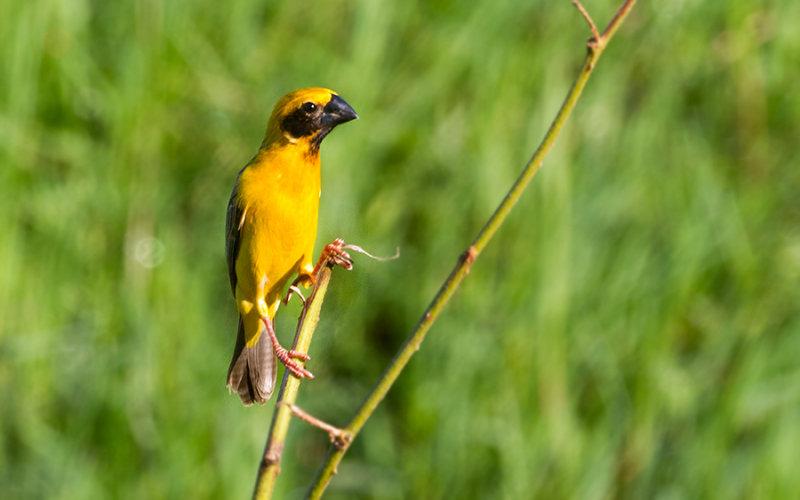 Asian Golden Weaver