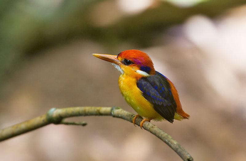 Black-backed Kingfisher (Oriental Dwarf)